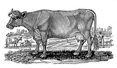 Cattle Print by Granger