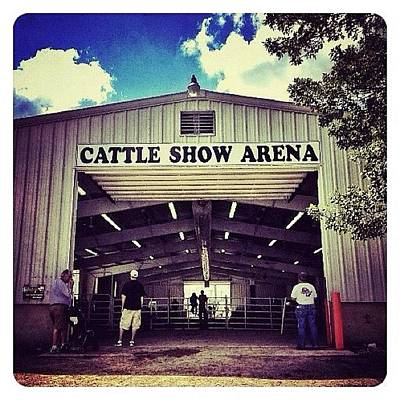 Cow Photograph - Cattle Show Arena by Natasha Marco