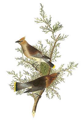 Cedar Waxwing Print by John James Audubon