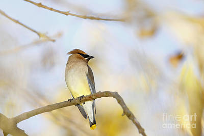 Cedar Waxwing On Yellow And Blue Print by Susan Gary