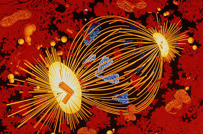 Mitotic Spindle Photograph - Cell Division by Francis Leroy, Biocosmos.