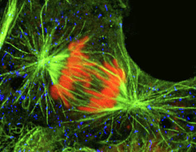 Mitotic Spindle Photograph - Cell In The Anaphase Stage Of Mitosis by Thomas Deerinck, Ncmir