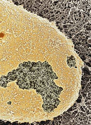 Cell Nucleus, Sem Print by