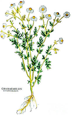 Chamomile, Alchemy Plant Print by Science Source