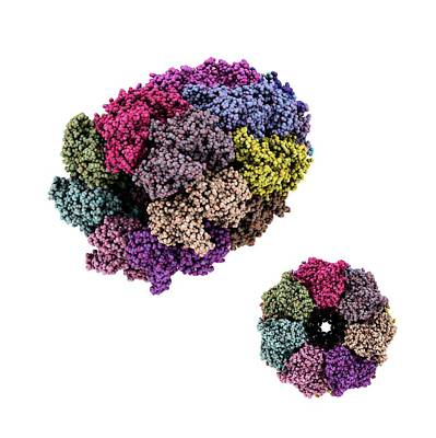 Chaperone Photograph - Chaperone Protein, Molecular Model by Laguna Design