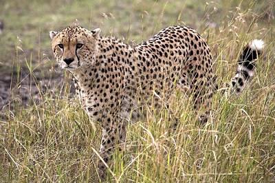 Cheetah Acinonyx Jubatus, Masai Mara Print by Chris Upton