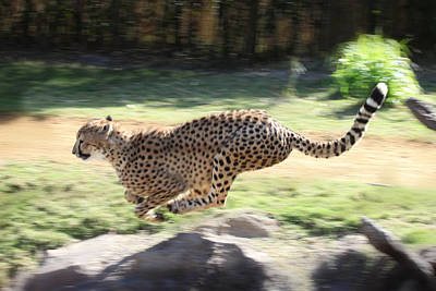Cheetah Sprint Print by Joseph G Holland