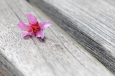 Floral Photograph - Cherry Blossom On Bench by Lisa Phillips
