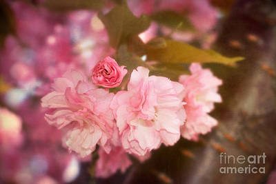 Cherry Blossoms Photograph - Cherry Blossoms Kanzan Five by Susan Isakson
