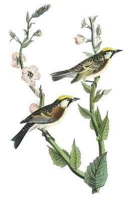 Warbler Painting - Chestnut-sided Warbler by John James Audubon