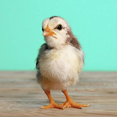 Chick On Wood Print by Retales Botijero