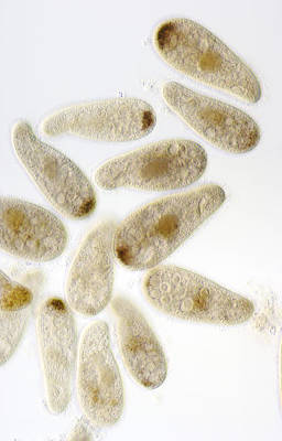 Chilodonella Ciliate Protozoa, Lm Print by Power And Syred