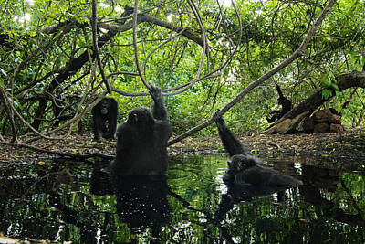 Senegal Photograph - Chimpanzee Males Seek Out Pools by Frans Lanting