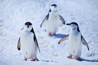 Y120831 Photograph - Chinstrap Penguins by Kelly Cheng Travel Photography