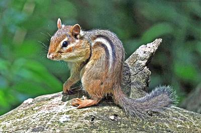 Print featuring the photograph Chipmunk by Rodney Campbell