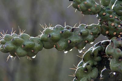 Elizabeth Rose Photograph - Cholla Cactus In The Rain by Elizabeth Rose