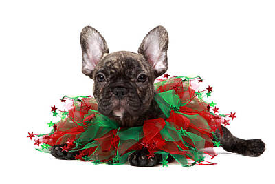 Christmas Frenchie Puppy Print by Mlorenzphotography