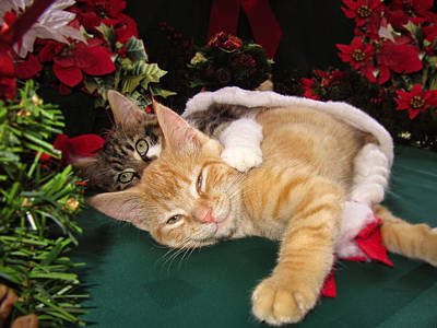 Christmas Time W Two Cats Together - Baby Maine Coon Kitty Cuddling With Smug Orange Tabby Kitten Print by Chantal PhotoPix