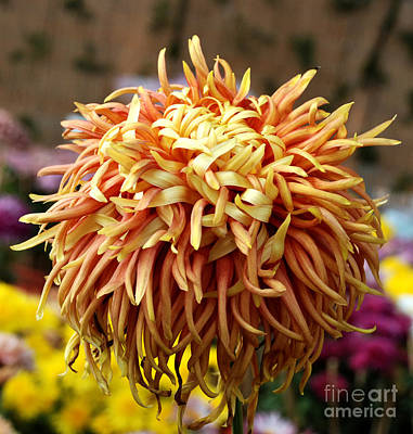 Flora Photograph - Chrysanthemum Delight by Pravine Chester