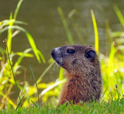 Groundhog Photograph - Chucky Woodchuck by Paul Ward