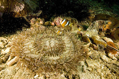 Clarks Anemonefish Photograph - Clarks Anemonefish In Beaded Sea by Tim Laman