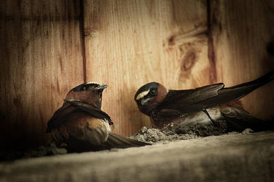 Cliff Swallows 3 Print by Scott Hovind