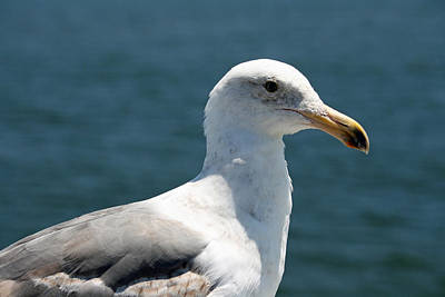Close Seagull Print by Wendi Matson