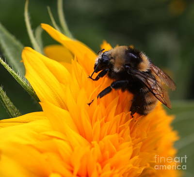 Close-up Bee On Sunflower Print by Marjorie Imbeau