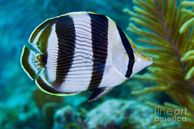 Close-up Of A Banded Butterflyfish Print by Terry Moore