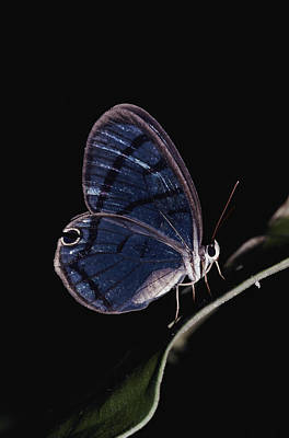 Close-up Of A Glassy-wing Butterfly Print by Mattias Klum
