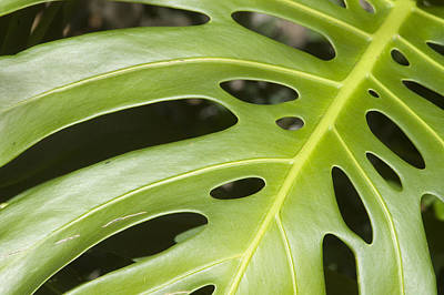Close-up Of A Philodendron Or Monstera Leaf Print by Design Pics/Allan Seiden