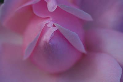 Close Up Of A Pink Rose, Rosa Species Print by Joe Petersburger