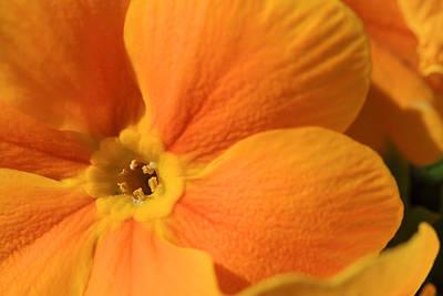 Close Up Of An Orange Primrose Flower Print by Joe Petersburger
