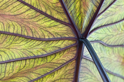Voodoo Doll Photograph - Close Up Of Colocasia Esculenta Leaf by Deb Casso