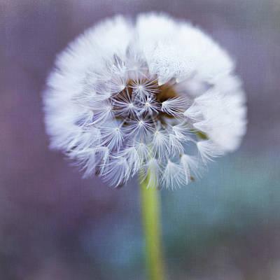 Close Up Of Dandelion Flower Print by Pamela N. Martin