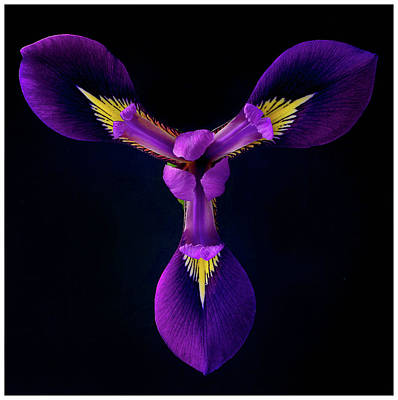 Close Up Of Iris Flower Print by A. McKinnon Photography