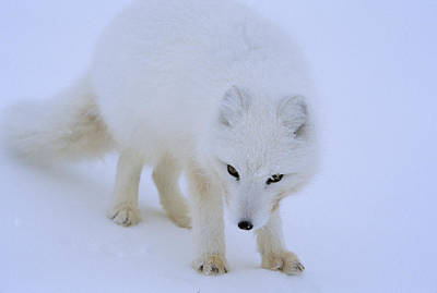 Close Up Portrait Of A White Arctic Print by Norbert Rosing