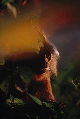 Danum Valley Conservation Area Photograph - Close View Of A Silvered Leaf Monkey by Mattias Klum