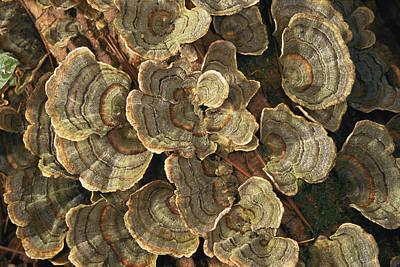 Close View Of Turkey-tail Fungi Print by Darlyne A. Murawski