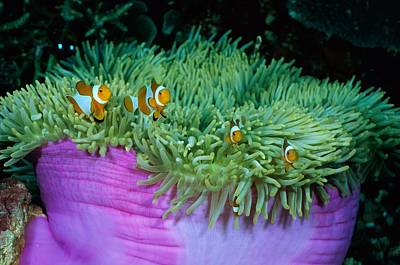 Clown Anemonefish Photograph - Clown Anemonefish In A Large Sea by Wolcott Henry
