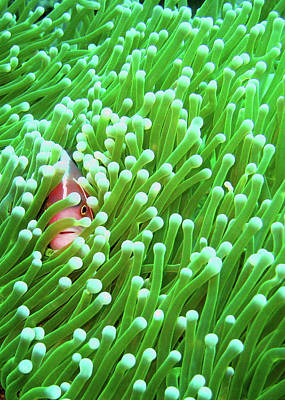 Clown Fish Photograph - Clown Fish by Perry L Aragon