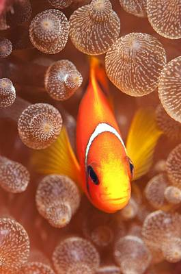 Clown Fish Photograph - Clownfish In Sea Anemone by Louise Murray