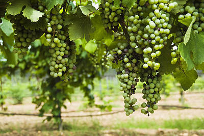Clusters Of Grapes On The Vine At Fall Print by James Forte