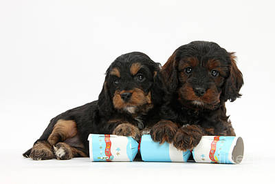 Cockapoo Pups With Christmas Package Print by Mark Taylor