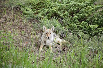 Feild Photograph - Colorado Coyote by Jenna Szerlag