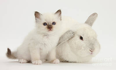 Colorpoint Kitten And White Rabbit Print by Mark Taylor