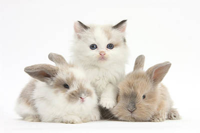 Colorpoint Kitten With Baby Rabbits Print by Mark Taylor