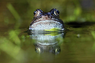 Common Frog In Pond Print by Iain Lawrie