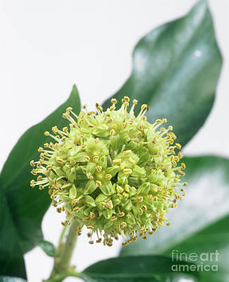 Common Ivy (hedera Helix) Flower Head Print by Sheila Terry