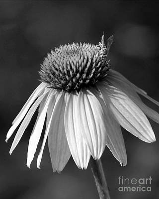 Cone Flower And A Bee Print by Sabrina L Ryan